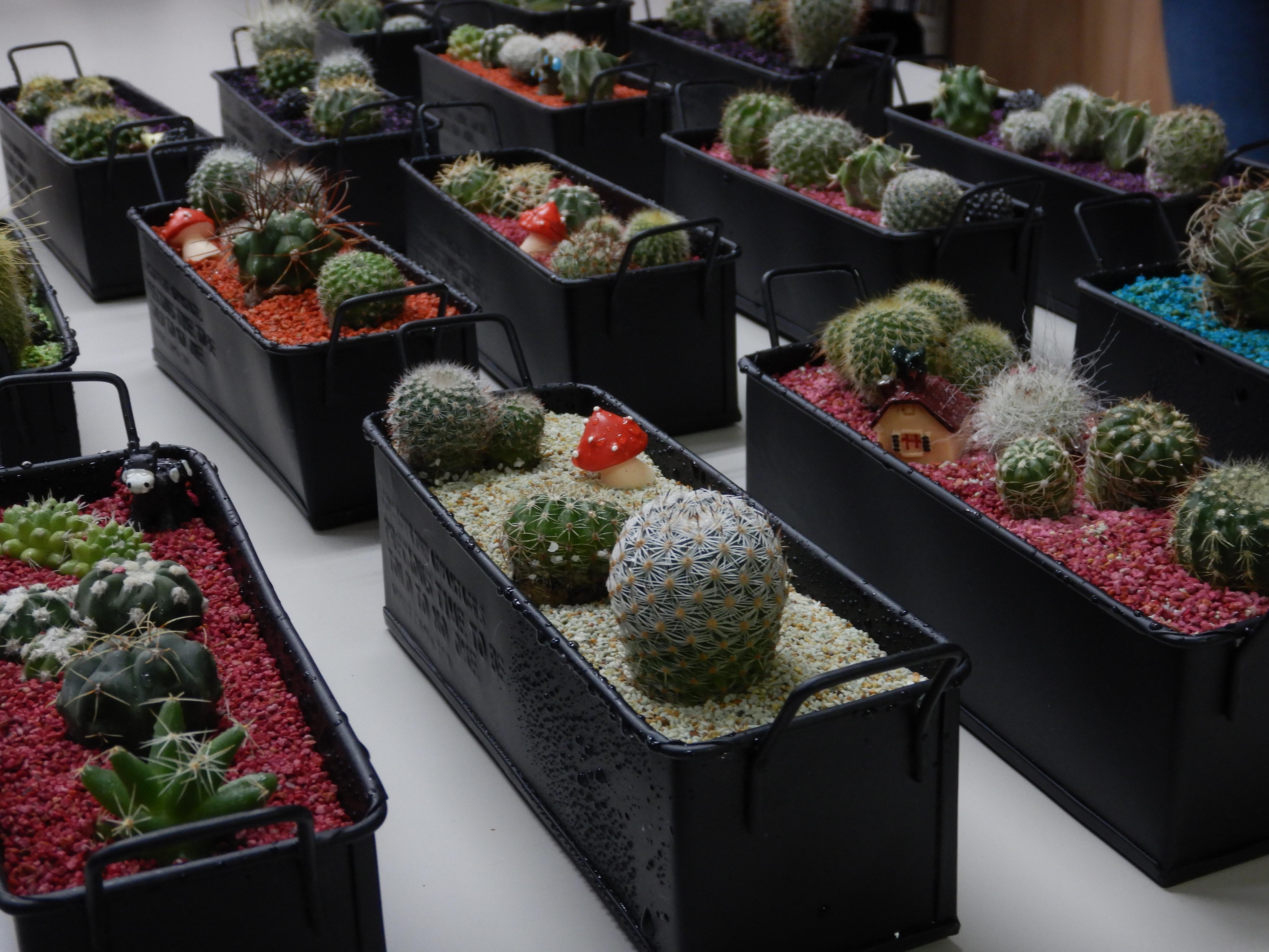 サボテンの寄せ植え教室🌵